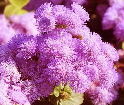 Ageratum Pink Seeds Mexicanum