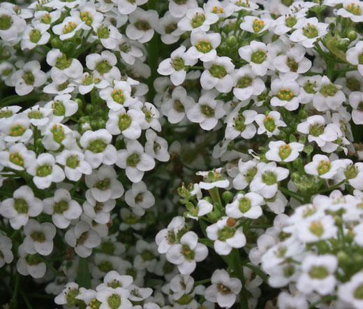 Alyssum Carpet of Snow Seeds - Lobularia Maritima