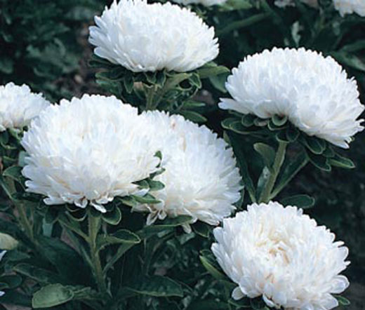 aster dwarf milady white seeds  callistephus chinensis, Beautiful flower