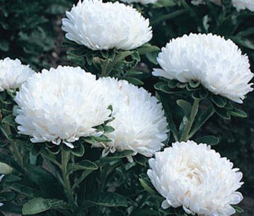 Aster Dwarf Milady White Seeds Callistephus Chinensis
