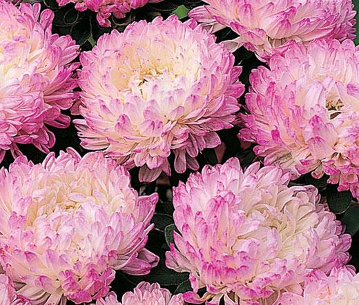 Aster paeony duchess pink seeds callistephus chinensis