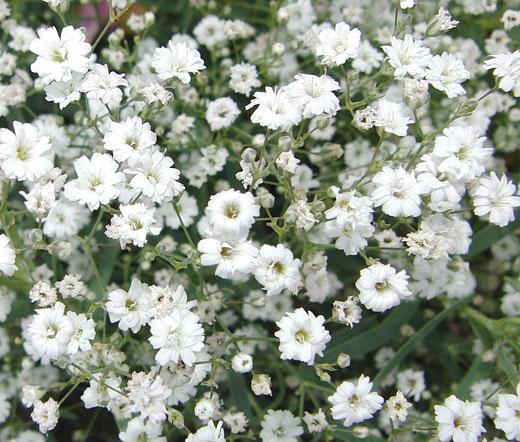 Baby S Breath White Seeds Gypsophila Elegans