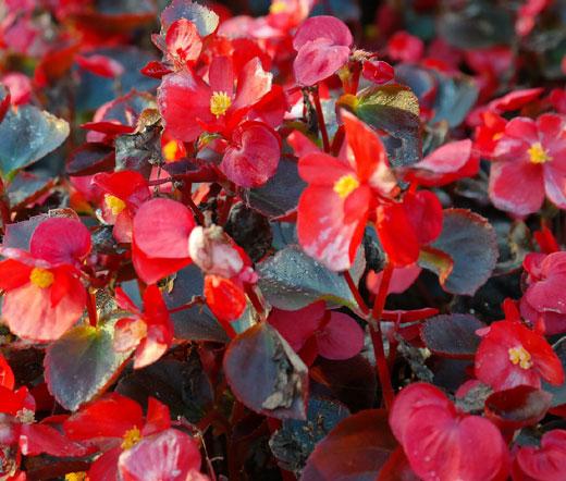 begonia wax red seeds begonia semperflorens. Black Bedroom Furniture Sets. Home Design Ideas