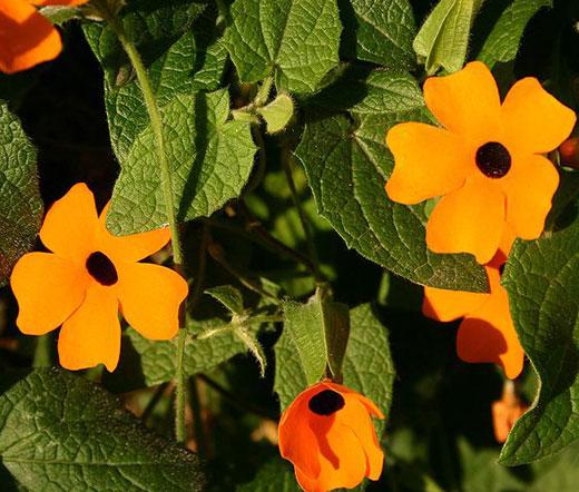 Thunbergia Alata Sunset Shades #2094 15 seeds BLACK EYED SUSAN VINE