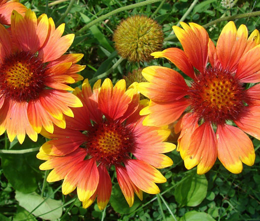 Blanket Flower Seeds Gaillardia Aristata