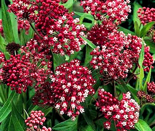 butterfly weed rose seeds  asclepias incarnata, Beautiful flower