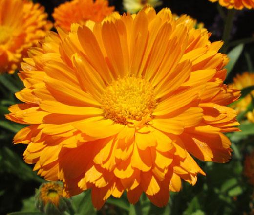 calendula pot marigold seeds calendula officinalis. Black Bedroom Furniture Sets. Home Design Ideas