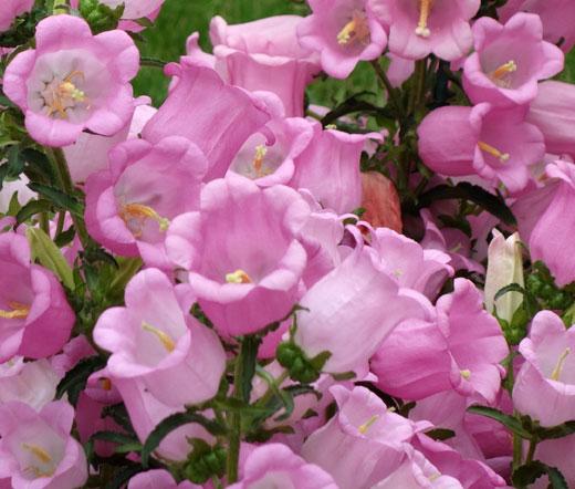 Canterbury bells pink seeds campanula medium mightylinksfo