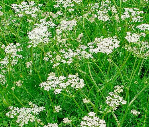 Caraway Seeds Carum Carvi