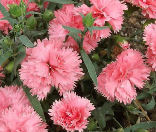carnation chabaud la france seeds dianthus caryophyllus. Black Bedroom Furniture Sets. Home Design Ideas