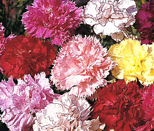 carnation chabaud picotee mix seeds dianthus caryophyllus. Black Bedroom Furniture Sets. Home Design Ideas