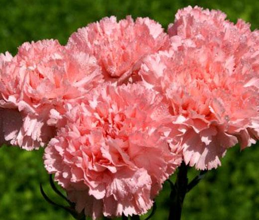 carnation grenadin rose seeds dianthus caryophyllus. Black Bedroom Furniture Sets. Home Design Ideas