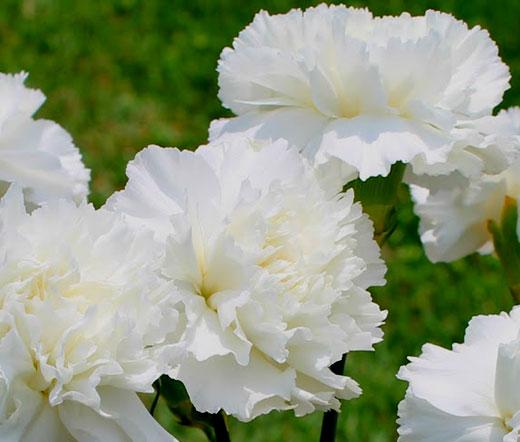 carnation grenadin white seeds dianthus caryophyllus. Black Bedroom Furniture Sets. Home Design Ideas