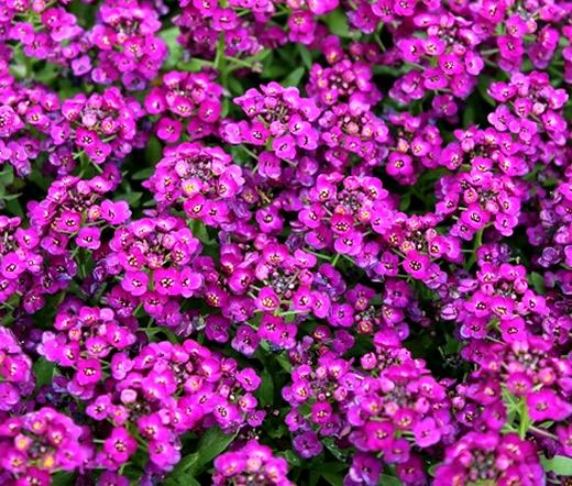 Alyssum Purple Royal Carpet Seeds Lobularia Maritima