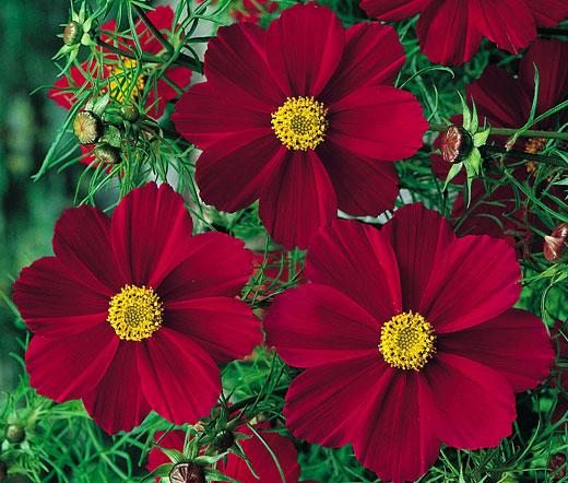cosmos tetra versailles red seeds cosmos bipinnatus. Black Bedroom Furniture Sets. Home Design Ideas