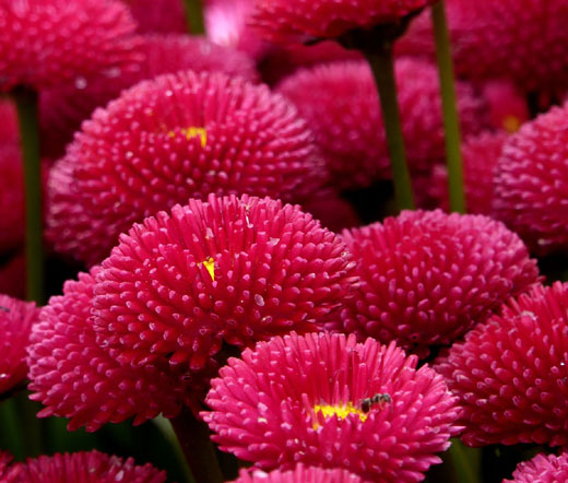 english daisy red seeds