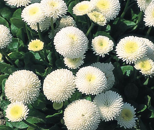 english daisy white seeds bellis perennis super enorma