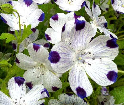 150 semi Five SpotNemophila maculata