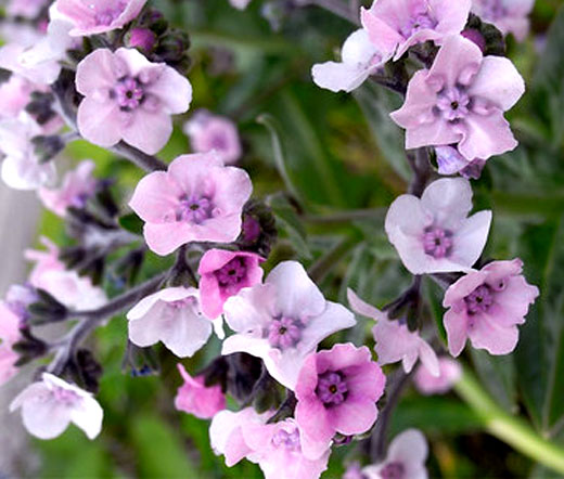 forget me not chinese mystic pink seeds cynoglossum amabile. Black Bedroom Furniture Sets. Home Design Ideas