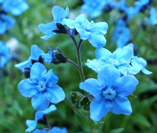 Forget Not Chinese Seeds Cynoglossum Amabile
