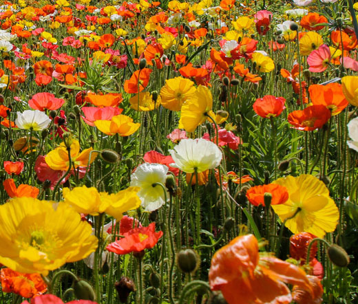 Iceland poppy seeds papaver nudicaule mightylinksfo