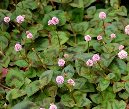 Knotweed pink punching balls seeds polygonum capitatum mightylinksfo