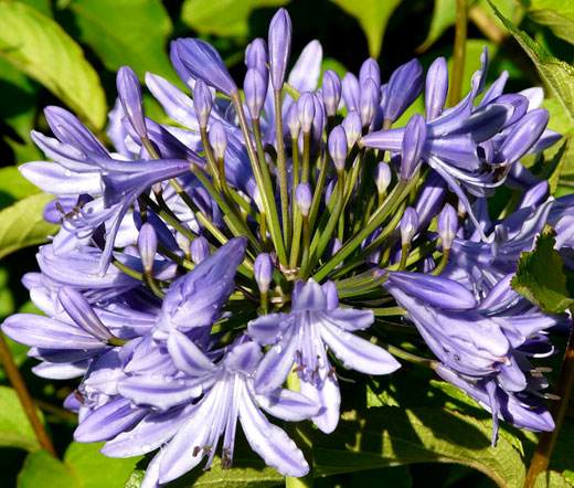 Agapanthus Headbourne Hybrids COLD HARDY LILY OF THE NILE Seeds!