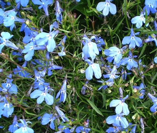 Lobelia Blue Carpet Seeds Lobelia Erinus