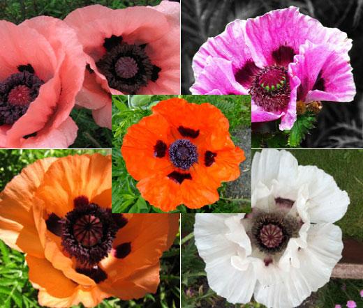 Oriental Poppy Mix Seeds Papaver Orientale