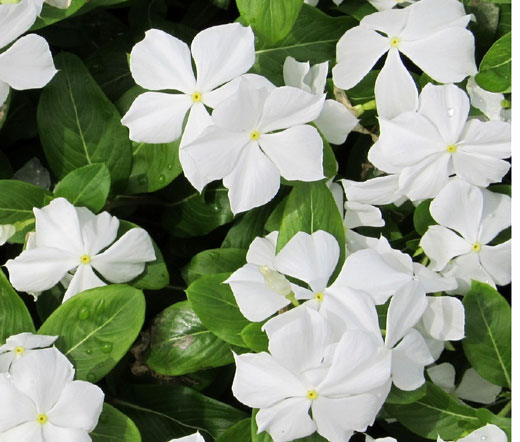 Periwinkle Dwarf White Little Blanche Seeds Catharanthus Roseus