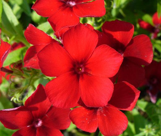 Phlox Drummondii Phlox Red Seeds - Phlo...