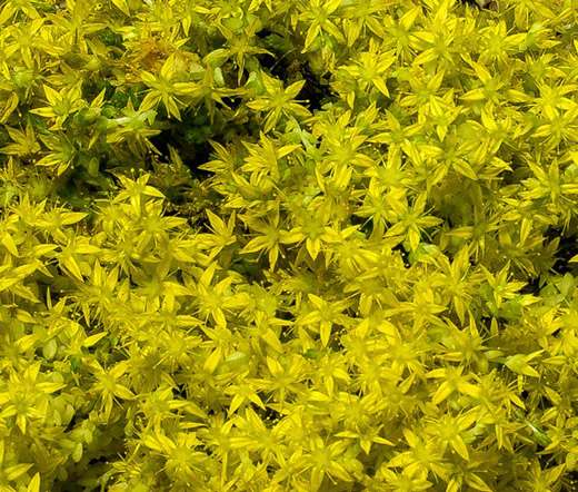 Sedum yellow stonecrop seeds sedum ellacombianum mightylinksfo