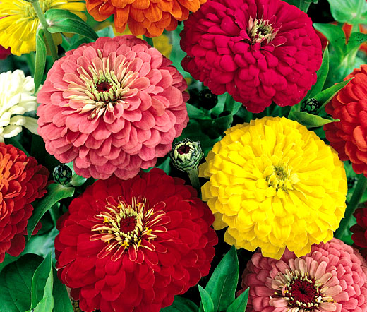 Zinnia Dahlia Mix Seeds Elegans