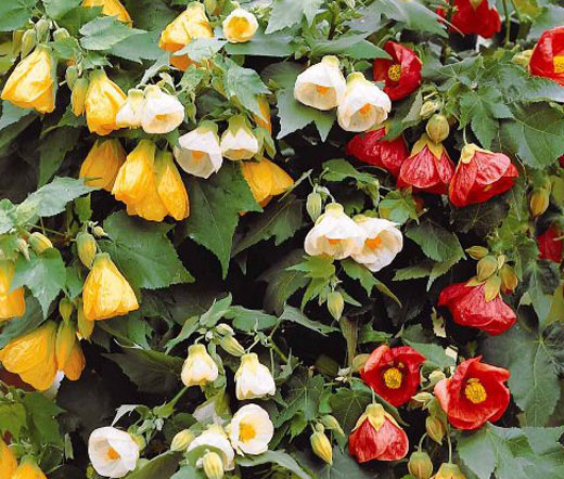 Herbal Pictures Of Abutilon Theophrasti Hairstyle