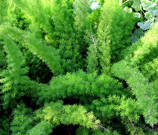 Asparagus foxtail fern seeds asparagus densiflorus meyeri
