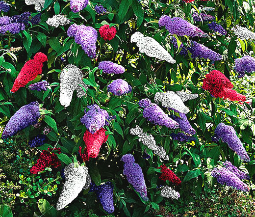 Butterfly Bush Images