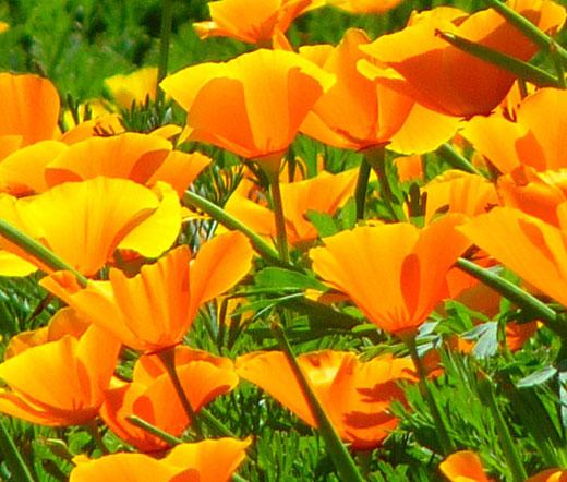 California Poppy Orange Bulk Seeds Eschscholzia Californica