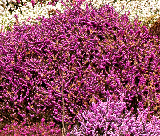 how to grow heather from seed