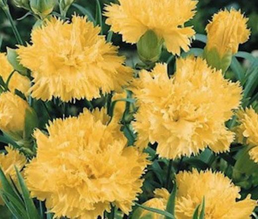 carnation grenadin yellow seeds dianthus caryophyllus. Black Bedroom Furniture Sets. Home Design Ideas
