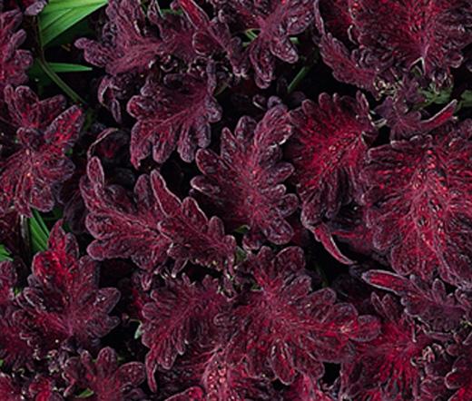 Coleus Black Dragon Seeds Solenostemon Scutellarioides