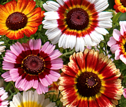 Red Painted Daisy Seeds