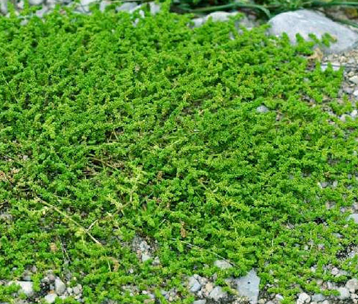 Green Carpet Rupturewort Seeds Herniaria Glabra