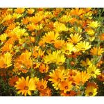 African Daisy Mix Seeds - Dimorphotheca Sinuata