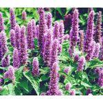 Agastache Giant Hyssop Lavender Blue Seeds - Agastache Mexicana