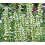 Agastache Giant Hyssop White Seeds - Agastache Mexicana