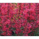 Agastache Heather Queen Seeds - Agastache Cana