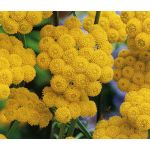 Ageratum Seeds - Yellow Lonas Inodora Seeds