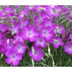 Agrostemma Rose Seeds - Agrostemma Githago Milas