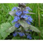Ajuga Bugleweed Seeds - Ajuga Reptans Seeds