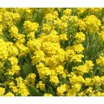 Alyssum Basket of Gold Seeds - Aurinia Saxatilis